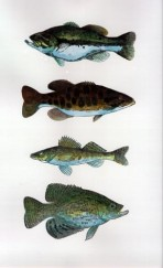 Largemouth, smallmouth, walleye, crappie