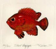 Short Bigeye Snapper